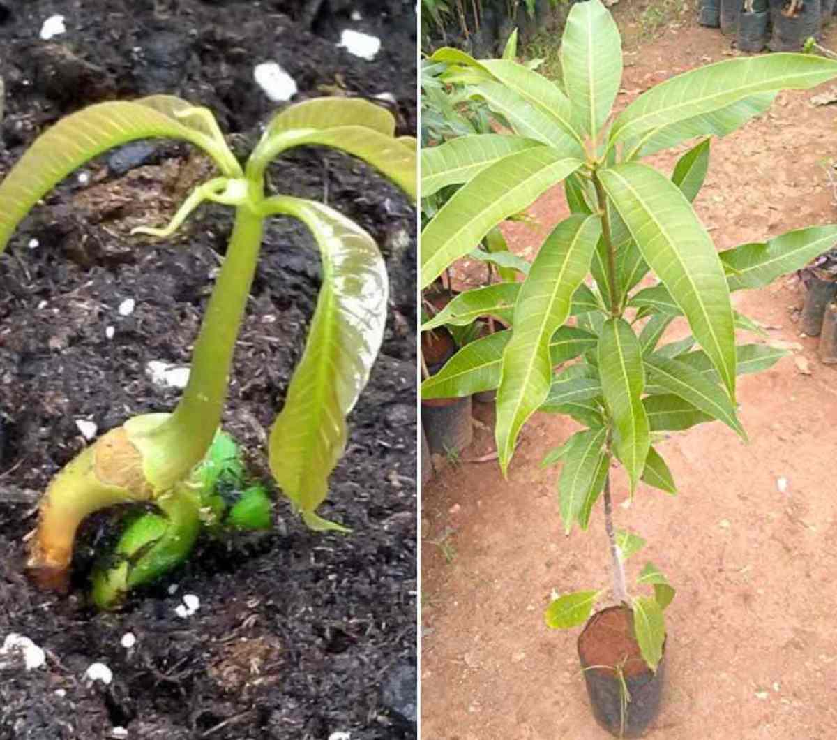 Planting a Mango Seed.