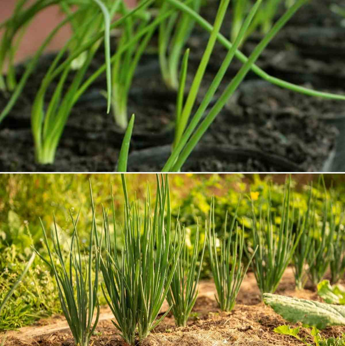 Growing Onion From Seed