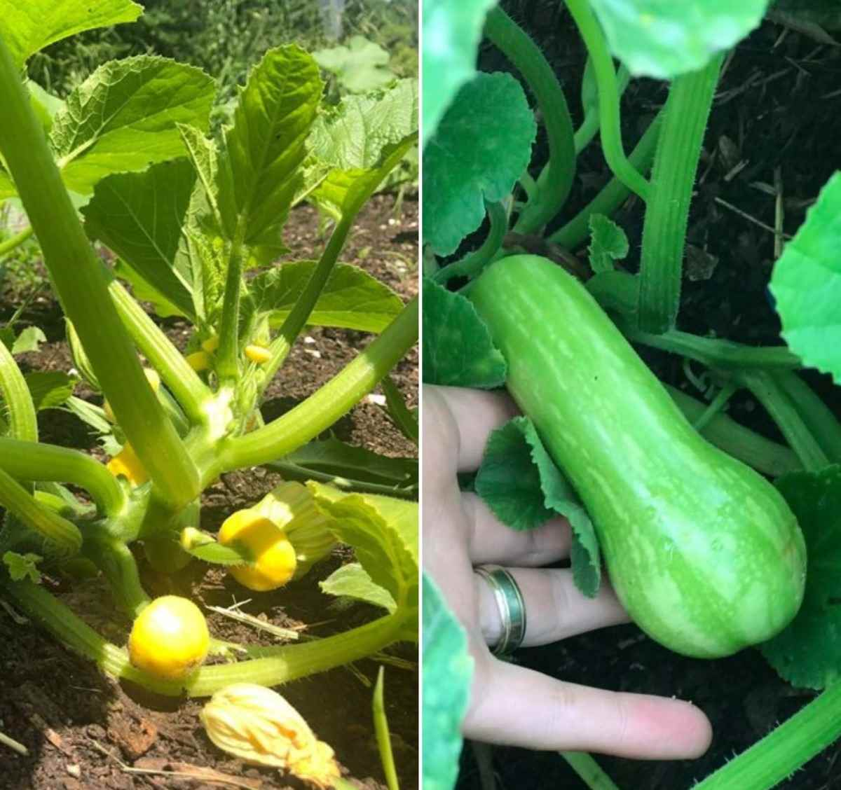 Squash Growing Requirements.