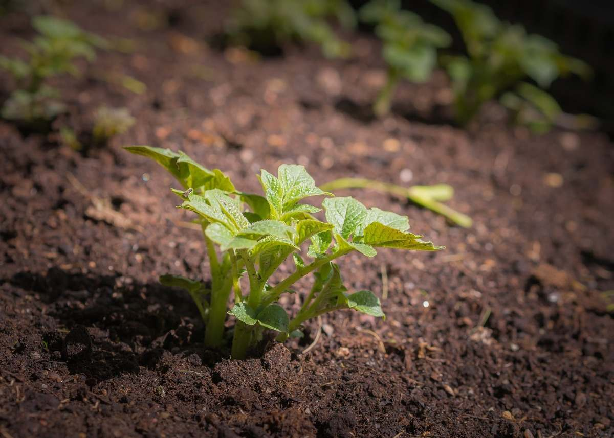 Potato Seedling.