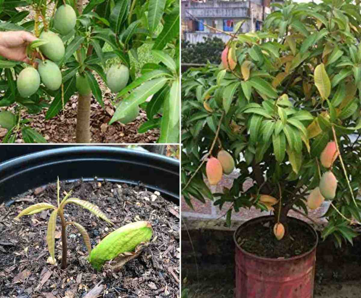 How to Grow Mango from Seeds.