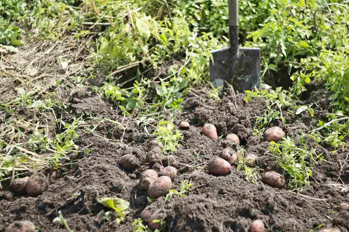 Potato Harvesting.
