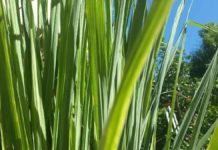 Growing lemongrass hydroponically.