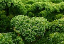 Kale Seed Germination.