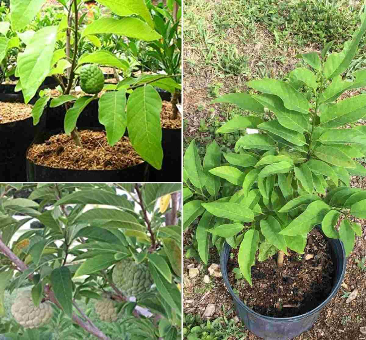 Growing Custard Apple In Containers Sitaphal Gardening Tips
