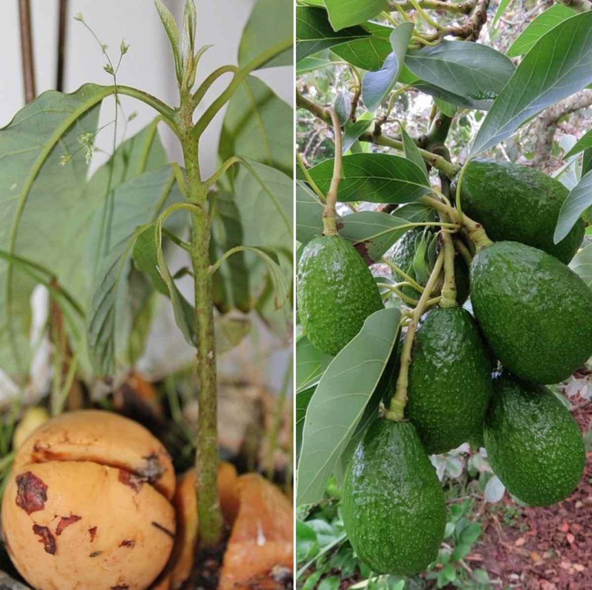 Avocado Seed Germination, Time, Temperature, Process   Gardening Tips