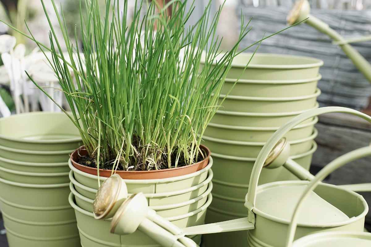 Image of: Growing Chives In Pots Planting Care A Full Guide Gardening Tips