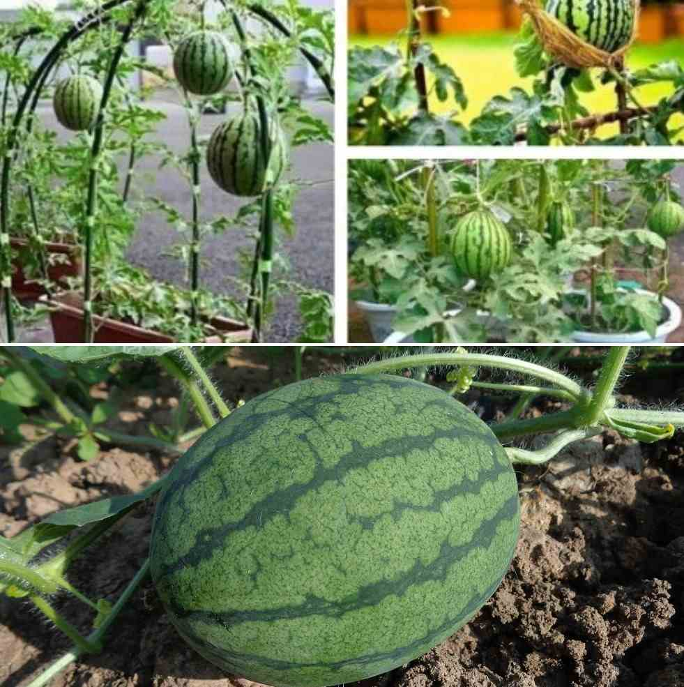 Growing Watermelon In Pots From Seeds A Full Guide Gardening Tips