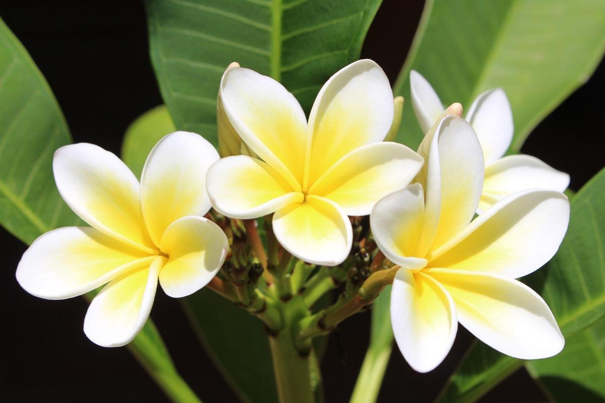 Growing Plumeria Champa Frangipani At Home Gardening Tips