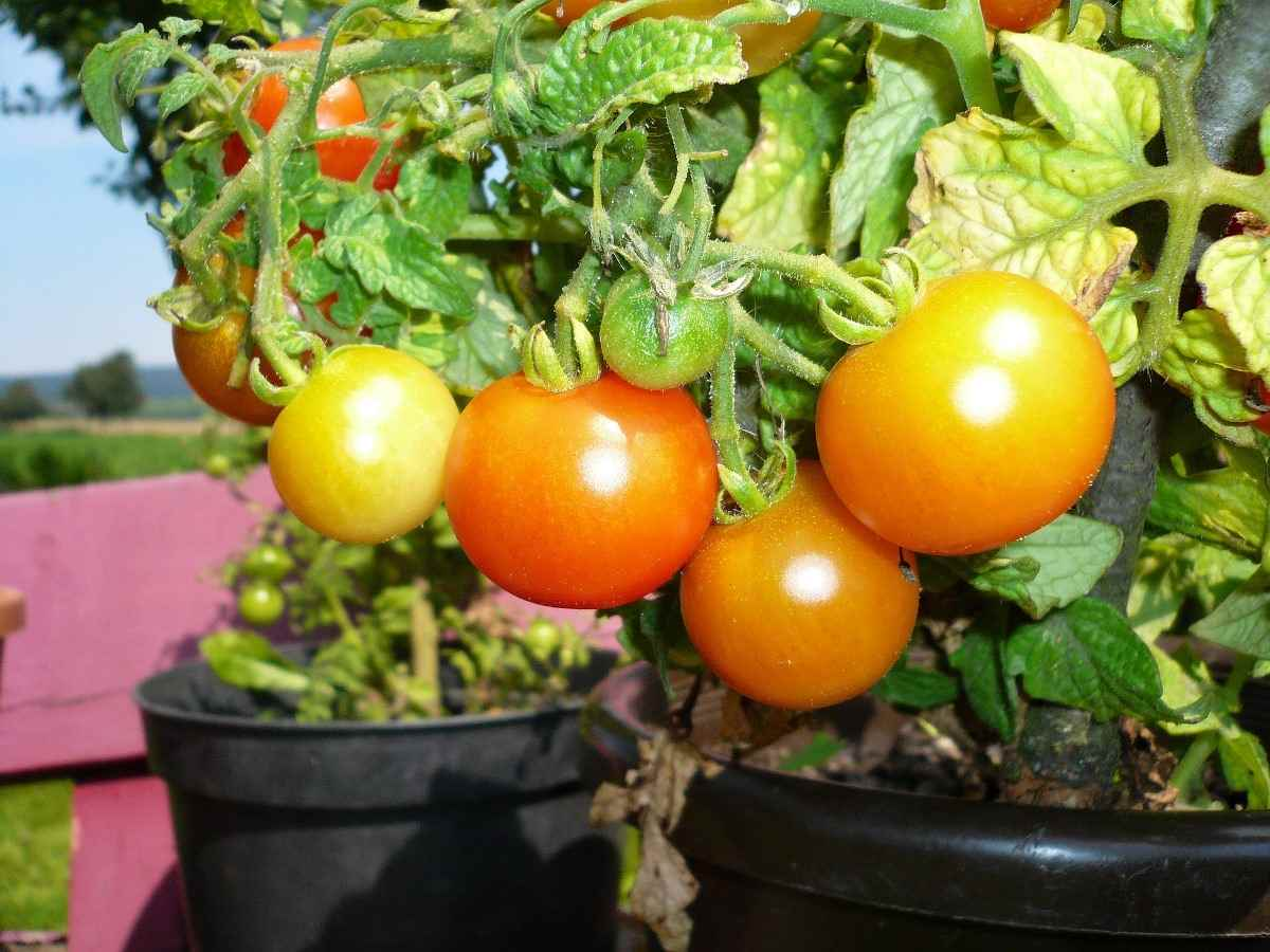 How To Grow Tomatoes At Home A Full Guide Gardening Tips