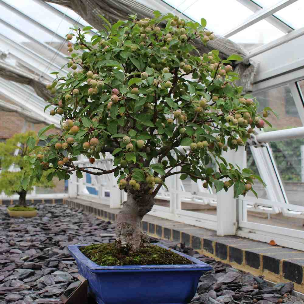 Growing Bonsai Trees In Containers Indoors Backyard Gardening Tips